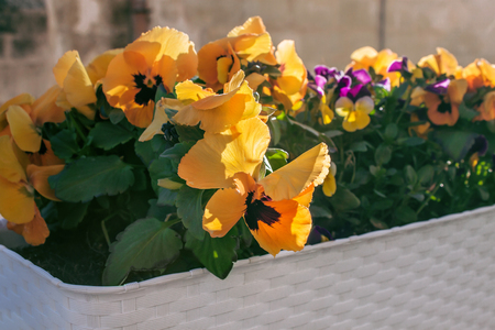 Flowers Pansies growing under the open sky. Decorative flowerbed. Viola tricolor in an ornamental plant pot. Decor of personal plots. Zdjęcie Seryjne