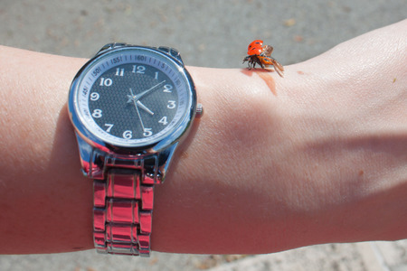 Ladybird with open wings takes off next to a wristwatch on a woman's hand. Concept of time flies Standard-Bild