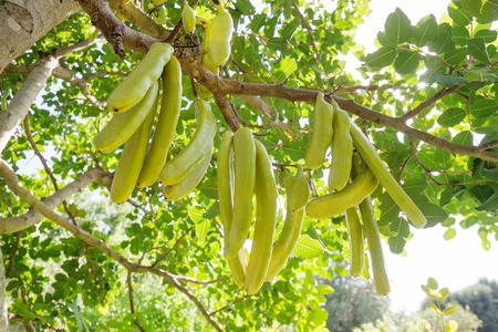 Carob tree (Ceratonia siliqua) in sunlight with fruit stems hanging on branches in the garden in Italy, Salento