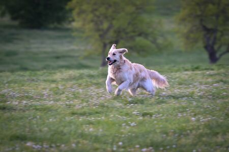 golden retriever dog runs and jumps happy in a meadow in spring