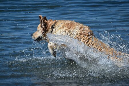 golden retriever dog runs free jumping and diving into the water and making many sketches