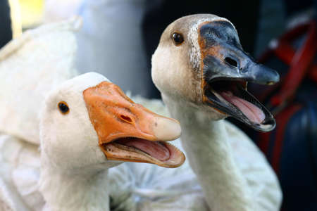 wail: Gooses