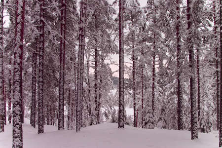 expedient: Winter forest 6