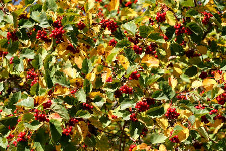 fascicle: Leaves and berries of an elder in the early autumn Stock Photo