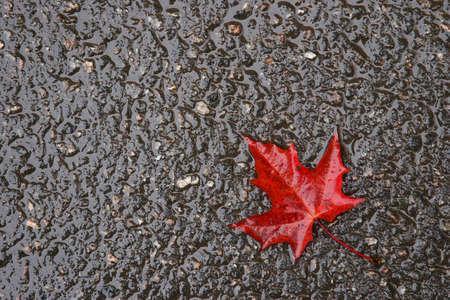 The fallen red leaf on wet asphalt Stock Photo