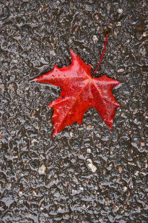 slushy: The fallen autumn leaf on wet asphalt
