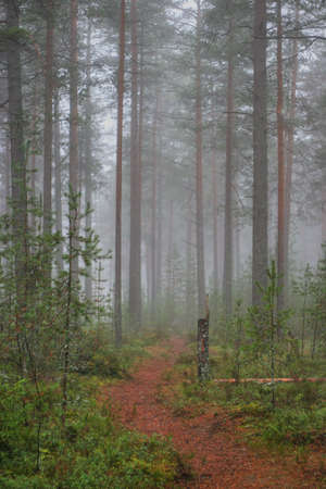 Mysterious foggy wood in the early morning photo