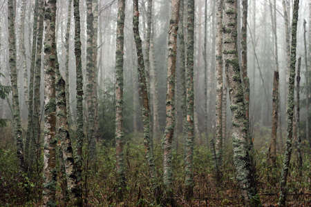 Fog on a bog and mysterious trunks of birches
