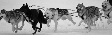 runing sledge dogs