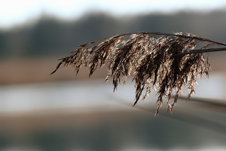 wheat in autumn