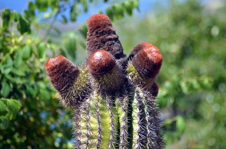 Four headed cactus