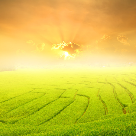 Green rice field and sunset for background Foto de archivo