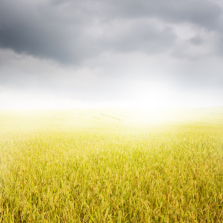 rainclouds: Yellow rice field and rainclouds for background