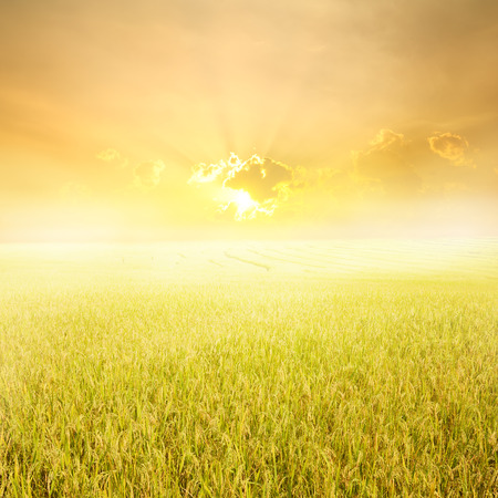 Yellow rice field and sunset for background