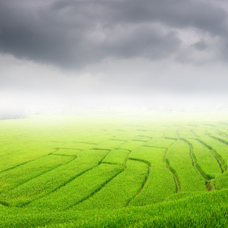 rainclouds: Green rice field and rainclouds for background