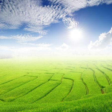 arroz blanco: Campo verde del arroz y cielo de Sun para el fondo