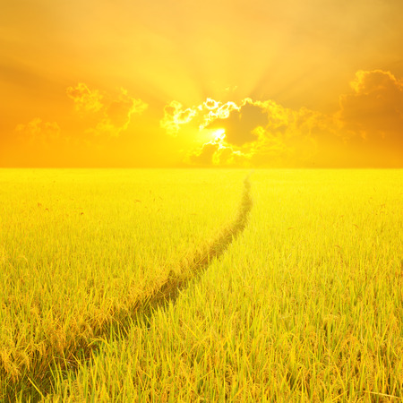 Way in Yellow rice field and sunset for background