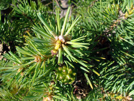 pine green: Image of pine green plants tree nature