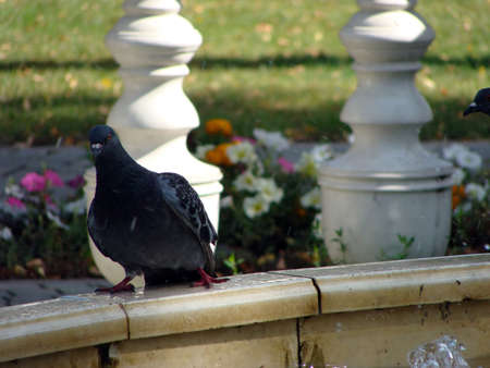 beak pigeon: Image of photography birds animals dove pets Stock Photo