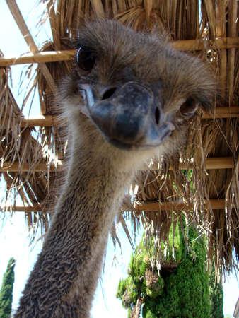 huddling: Image of ostrich bird animals flightless beak