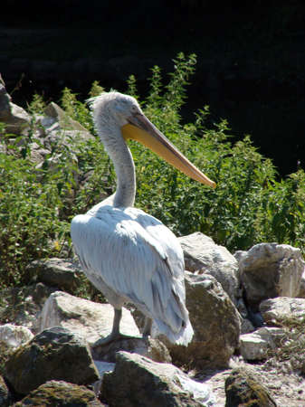 white bird: Image of pelican white bird animals photography