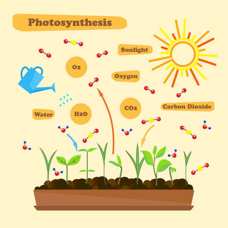 h2o: Illustration of photosynthesis - infographics of the photosynthesis process. Infographics in flat style.