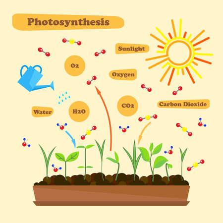 Ilustración de la fotosíntesis - infografía del proceso de la fotosíntesis. Infografía en estilo plano.