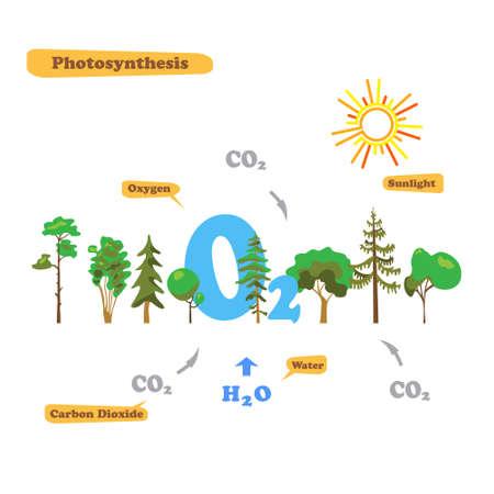 Illustrazione della fotosintesi - infografica del processo di fotosintesi. Infografica in stile piatto.