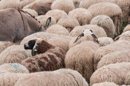 flock sheep background pattern