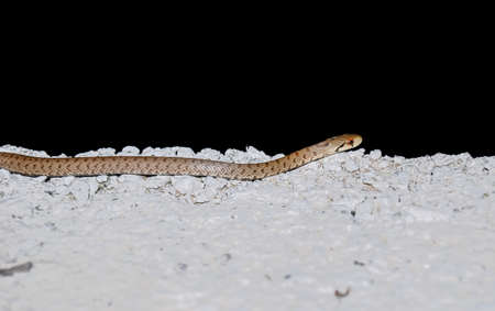 Four-lined snake in the night