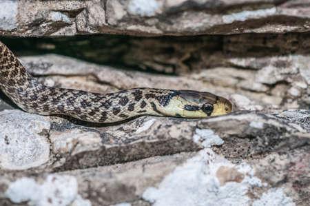 forked: Green whip snake