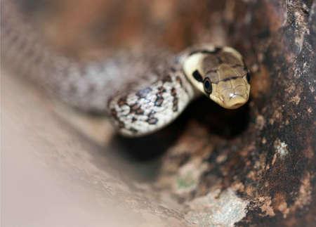 forked: Green whip snake, hidden in the rocks Stock Photo