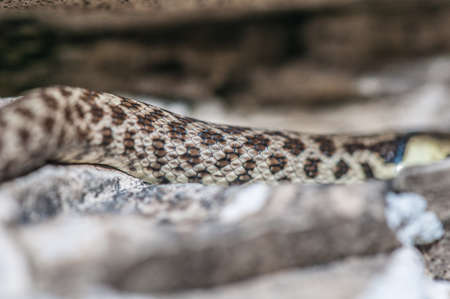 Green whip snake skin, camouflage, hidden in the rocks Stock Photo