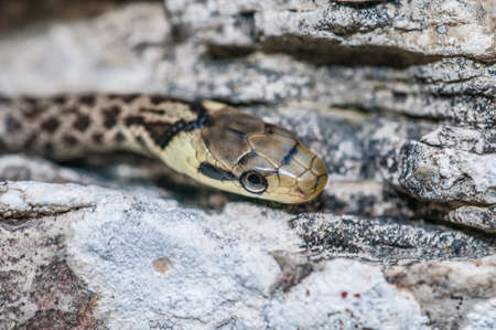 Green whip snake, hidden in the rocks Stock Photo