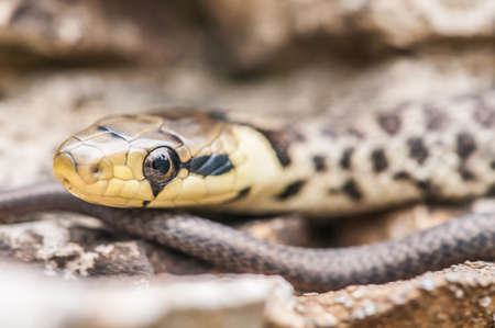 cold blooded: Green whip snake, hidden in the rocks Stock Photo