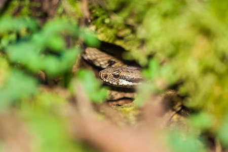 Viper snake hidden Aspis