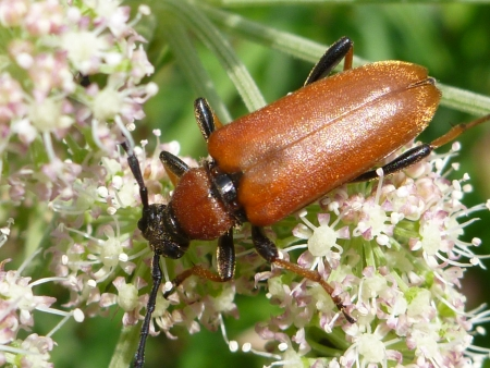 long horn beetle: Rubra Stictoleptura