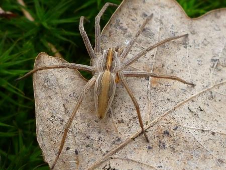 eight legged: Nursery web spider 2   pisaura acoreensis