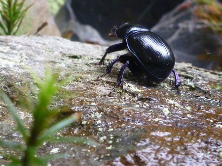 Earth-boring dung beetle  Geotrupidae  on stone  Stock Photo