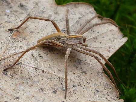 nursery web spider: Nursery web spider 1  pisaura acoreensis