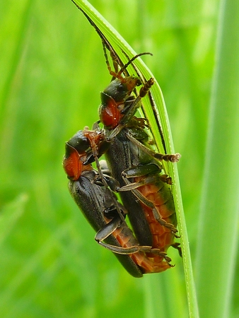 Cantharis Fusca mating photo