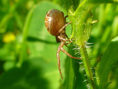 xysticus: Spider  Xysticus  Stock Photo
