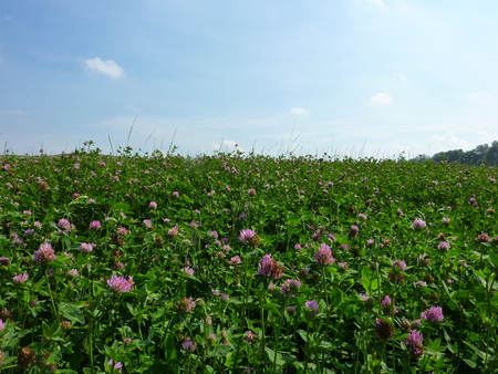 Field with Clover  Trifolium   photo