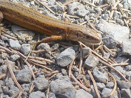 viviparous: The viviparous lizard  Zootoca vivipara  on gravel path