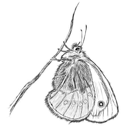 Small Heath  Coenonympha pamphilus