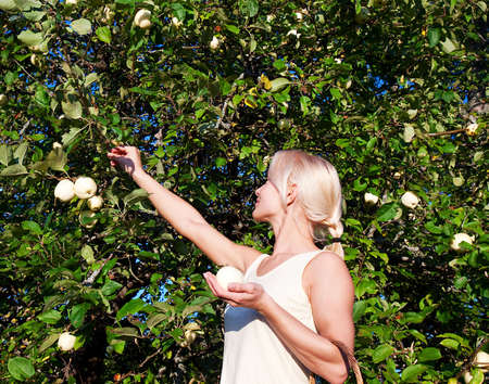 Attractive blonde picking the apples in the garden  photo