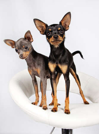 Close image of beautiful toyterriers