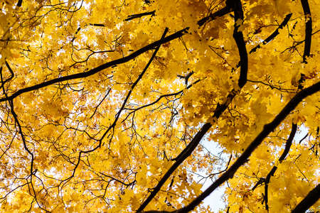 Autumn picture made below a maple tree photo