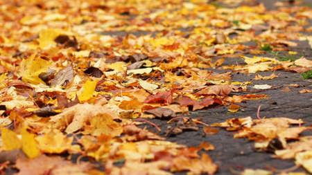 autumn leafs: Colorful autumn leafs.