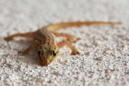 animal viviparous: Image made by smartphone. Lizard on a sand